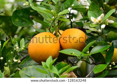 Two fresh ripe Valencia oranges hang on the tree in Florida with blossoms in background.