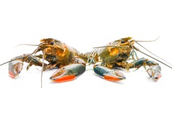 Two freshwater lobster on isolated white background. Freshwater lobster is new business trend in Malaysia.