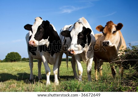 Two Fresian cows and a Jersey cow in a line