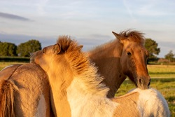 Two friendly coloured Icelandic horse foals