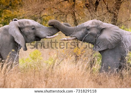 Two friendly male elephants greet each other by entwining trunks #731829118
