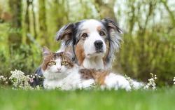 Two friends: Australian Shepherd and cat.