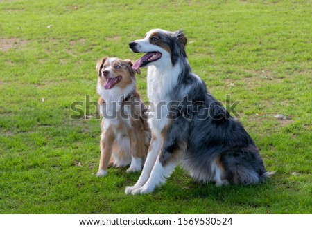 Two friends Border Collie dogs sitting next to each other
