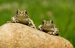 two frogs and a fly