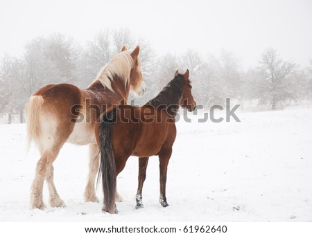Two frosty horses, a big and a small one, looking into distance on a cold foggy winter day #61962640