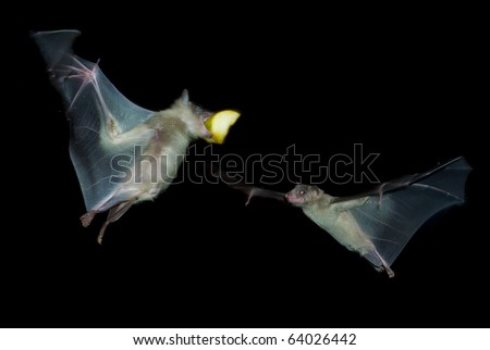 two fruit bats eating and fighting for food
