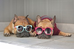 Two funny brown small French Bulldog dogs lying relaxed in shade in summer wearing colorful sunglasses for children