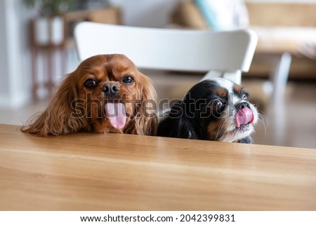 Two funny dogs behind the kitchen table, wiating for food with tongues out Zdjęcia stock ©