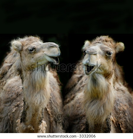 two funny dromedaries or camels having conversation, isolated on black