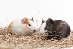 Two funny hamsters on white isolated background. Two nice hamster sitting on hay