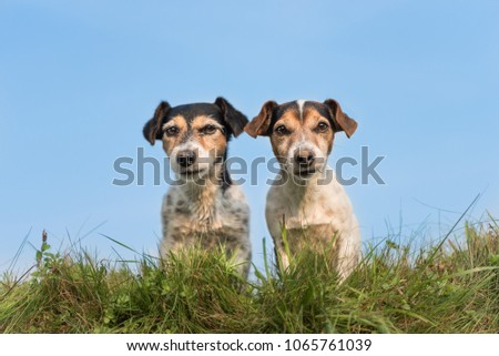 Two funny little dogs sitting side by side in a meadow against a blue sky - cute Jack Russell Terrier #1065761039
