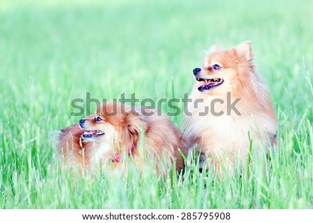 Two funny little red dog sitting in the grass summer day