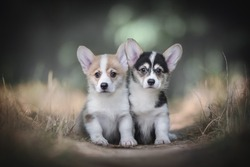 Two funny little welsh corgi pembroke puppies obediently sitting on a sandy path among yellow grass against a backdrop of a bright summer landscape. Looking into the camera