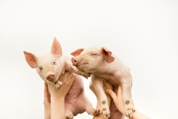 Two funny piglets up in the air