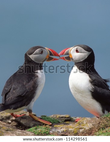 Two funny puffins with love and kiss