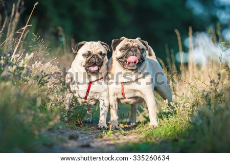 Two funny pug dogs on the walk in summer