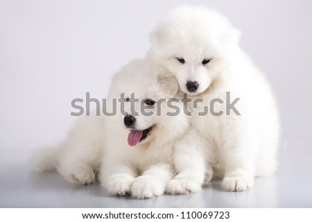 Two funny puppies of Samoyed dog (or Bjelkier), one with tongue out