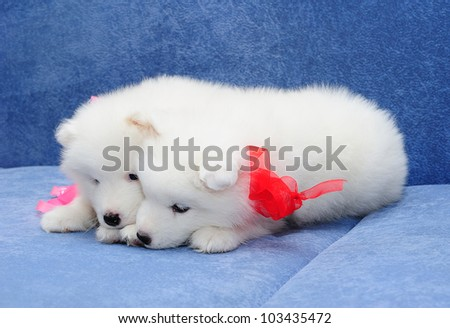 Two funny puppies of Samoyed dog (or Bjelkier) sniffing something
