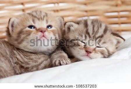 two funny small kittens in wicker basket