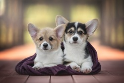 Two funny welsh corgi pembroke puppies wrapped in a purple knitted scarf lying on a red wooden bridge against the backdrop of a bright summer landscape