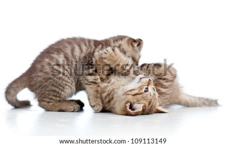 two funny young cat kittens play together
