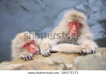 Two furry Japanese macaques (snow monkeys)  grabbing onto a rock in a hot spring.