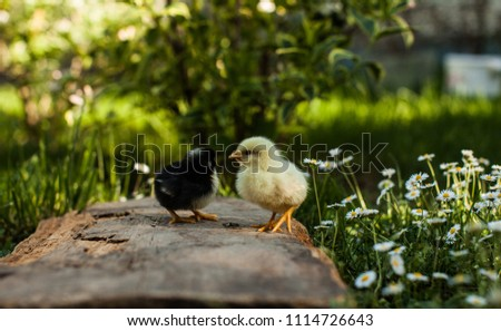 Two fuzzy yellow baby chicks in the green grass #1114726643