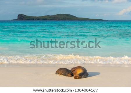 Two Galapagos Sea Lions (Zalophus wollebaeki) having a nap on the idyllic beach of Gardner Bay, Espanola Island, Galapagos national park, Ecuador.