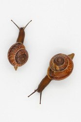 Two garden snails isolated on white background for design.