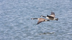 Two geese fly over wavy water in an apparent race.