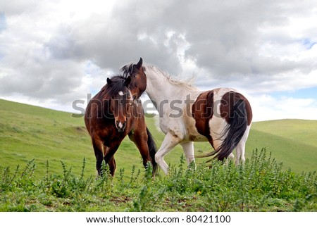 Two geldings playing in a Northern California pasture on a spring afternoon.