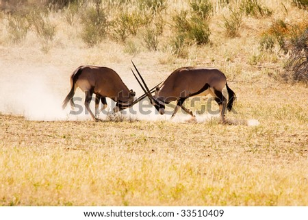 Two Gemsbok antelope males fighting for dominance