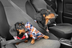 Two generations of funny dachshund dogs in hipster shirts sit in passenger seat of car wearing seatbelts obediently waiting for owner ready for road trip. Safety traveling with pets.