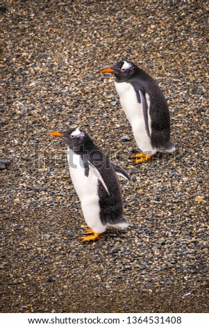 Two gentoo penguins walk exactly the same step in perfect synchrony on the Martillo Island, located in the Beagle channel in the land of fire, Ushuaia, Patagonia Argentina. #1364531408