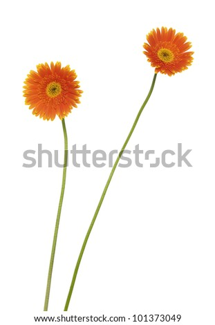two gerbera (african daisy) isolated