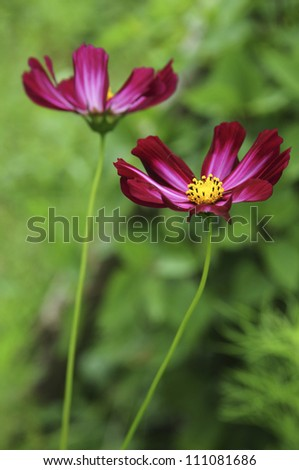 two Gerberas flowers in grass,yunan,china