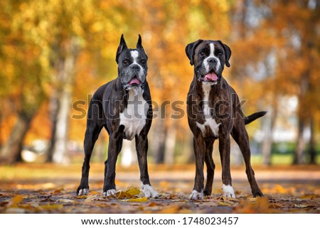 Photo of  two german boxer dogs posing in the park