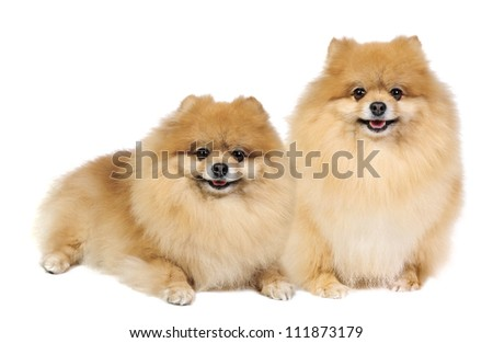 Two German (Pomeranian) Spitz dogs in studio on white background