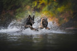 Two german shepherds jump together throught the water. Dogs in action.