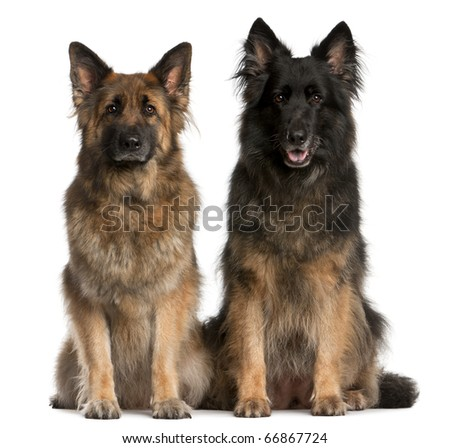 Two German Shepherds sitting in front of white background