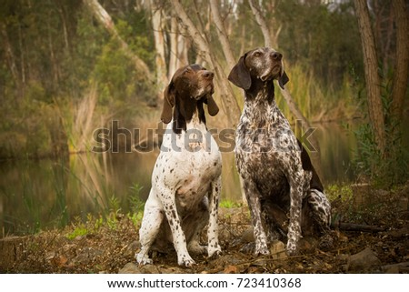 Two German Shorthaired Pointer dogs sitting together in nature by pond #723410368