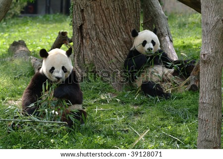 Two Giant Panda Bears in a field with a tree and grass
