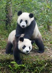 Two giant panda bears playing