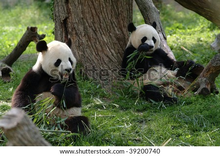 Two Giant pandas in a field with a tree and grass