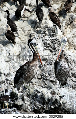 Two giant pelicans standing stoically on the rocks. Pale colours contrasting with the vivid coloured pelicans. Taken at the Islas Ballestas in the south of Peru.