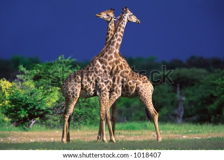 Two giraffe bulls (Giraffa camelopardalis), Etosha National Park, Namibia - stock photo