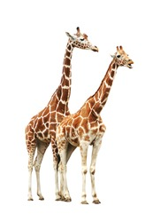 Two giraffe isolated on white background