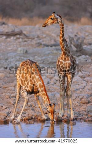 Two Giraffe's drinking at a waterhole in Etosha