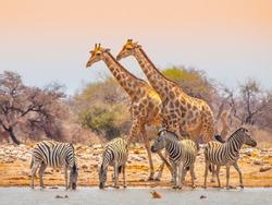 Two giraffes and four zebras at waterhole in Etosha National Park, Namibia