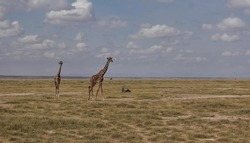 Two giraffes are walking in the African savannah. Long necks against the background of the sky with clouds. Dry grass on the ground. Kenya. Amboseli park